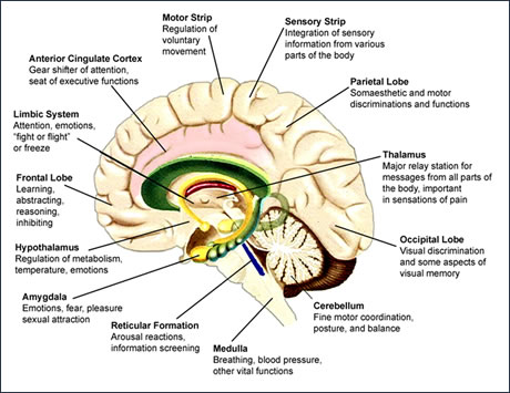The Human Brain - Hanno Kirk Services